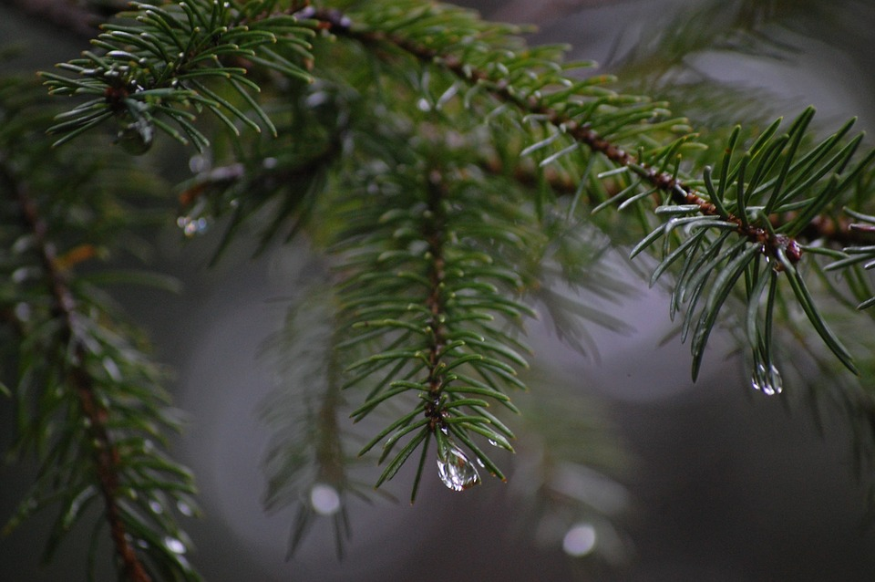 Spinet, Needle, Conifer, Rain, Fog, Drop Of Water, Tree