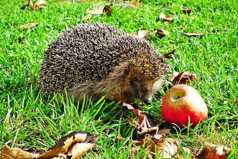 Hedgehog, Animal, Pet, Mammal, Spiny Animal, Cute