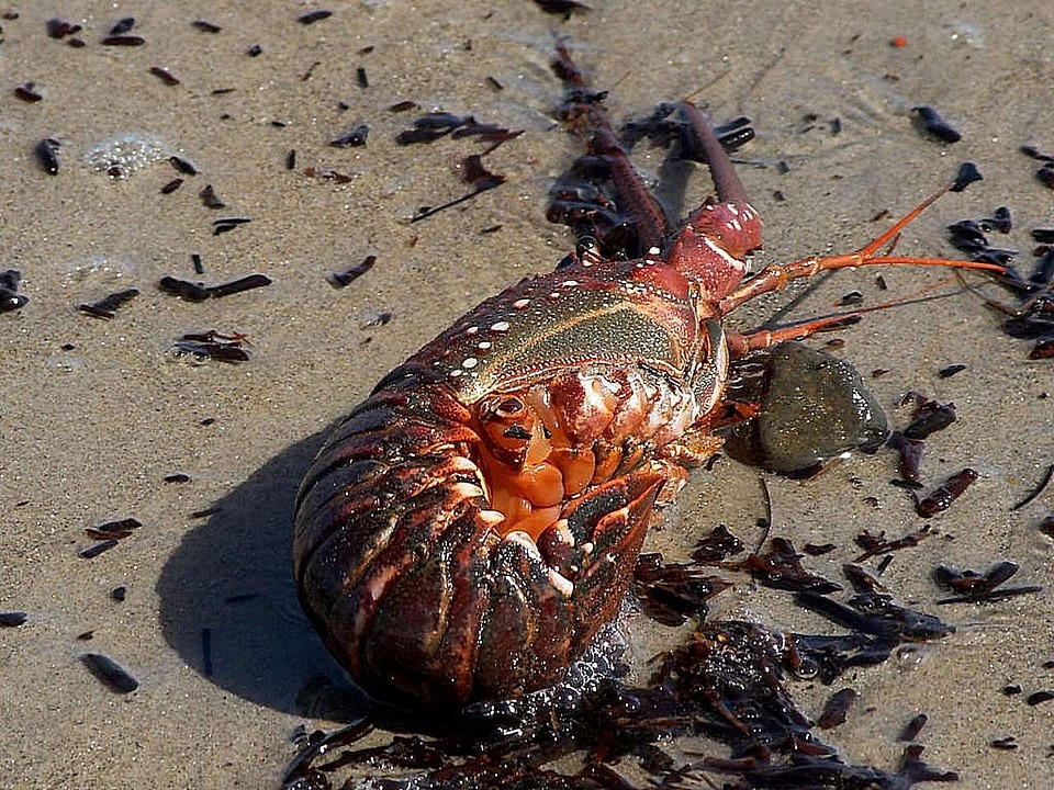 Beach, Pacific, Washed, Lobster, Spiny, Lobsters, Crabs
