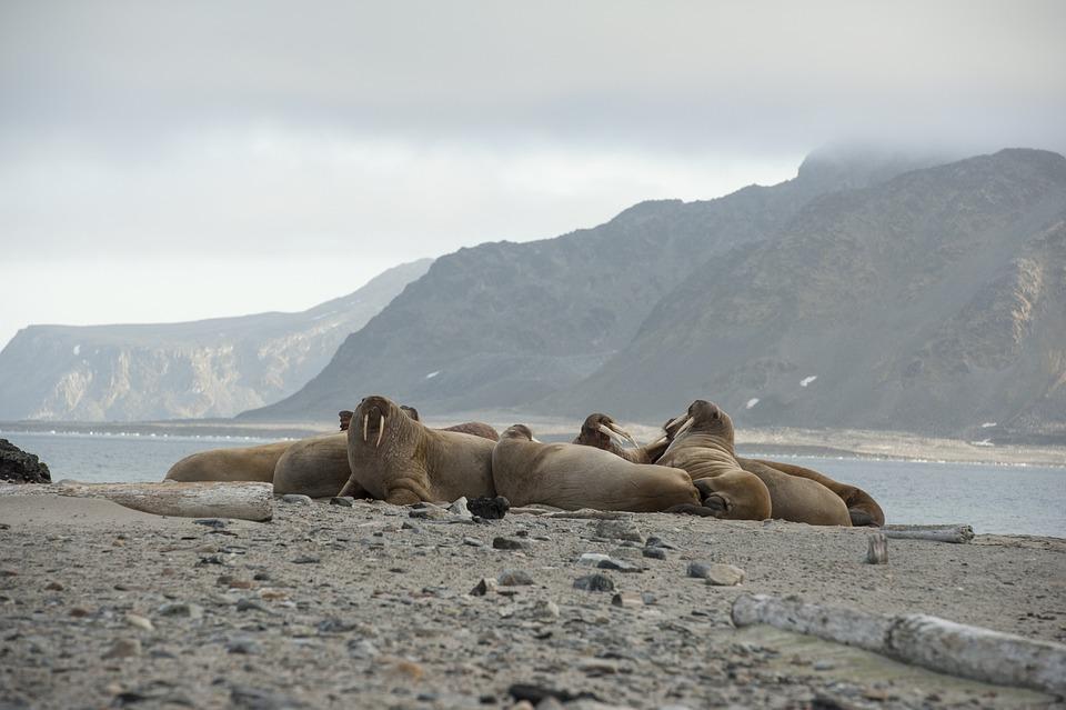 Walrus, Norway, Spitsbergen, North, Animal, Sea