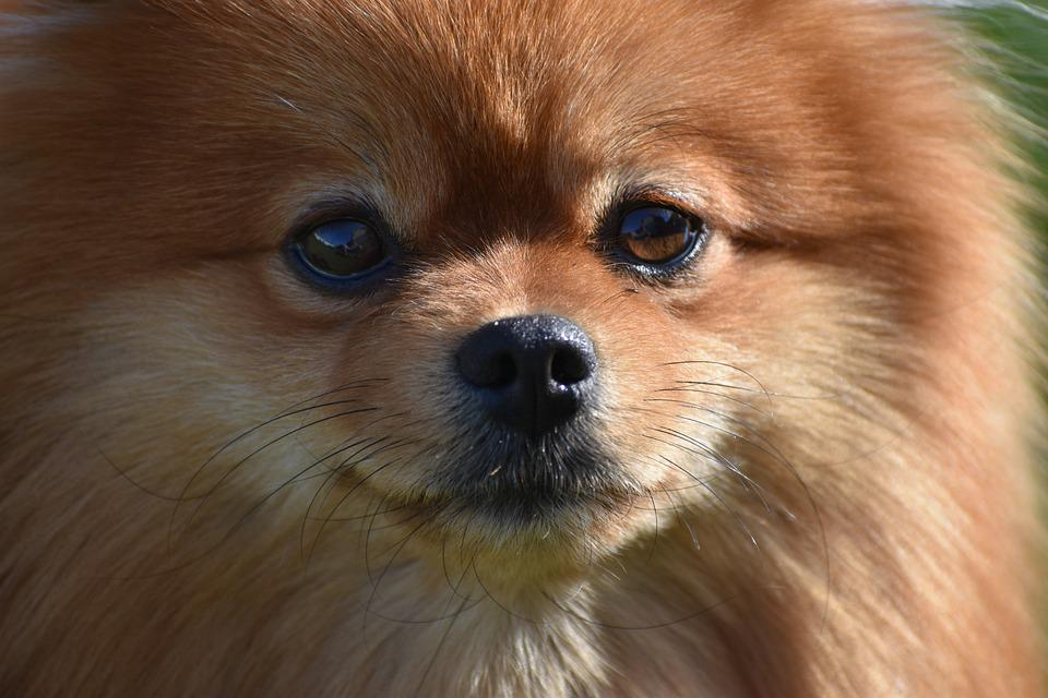 Spitz, Pomeranian, Portrait, Macro, Dog, View, Animals
