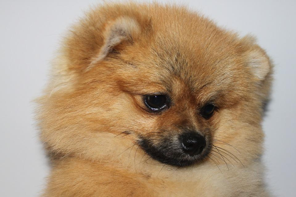 Spitz Miniature, Pomorzanin, Puppy