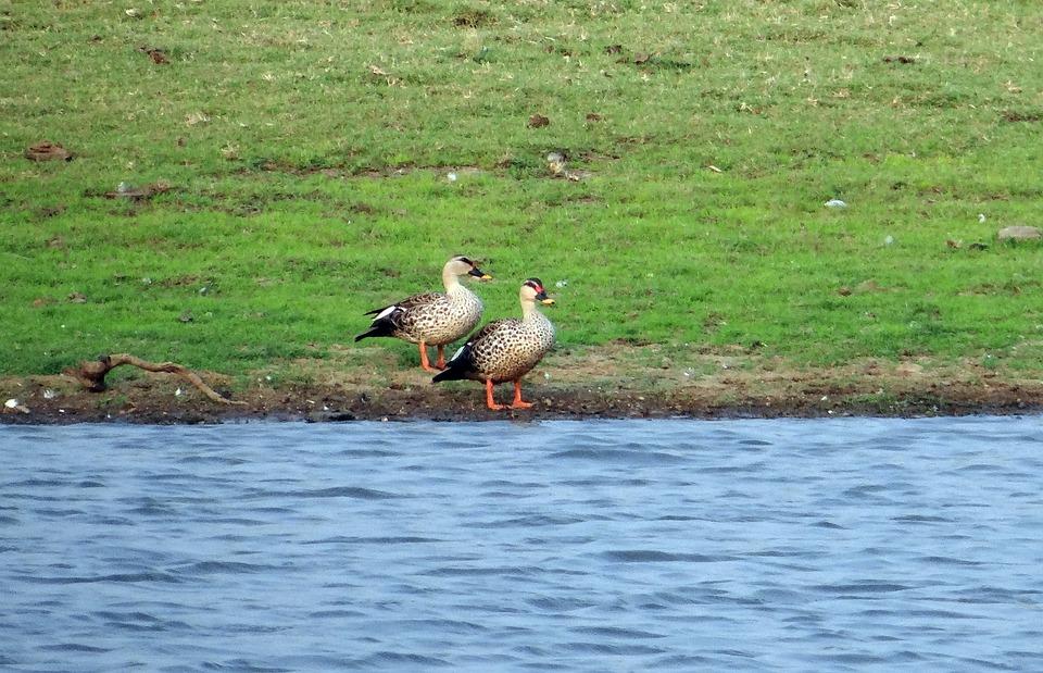 Spot-billed Duck, Anas Poecilorhyncha, Spotbill