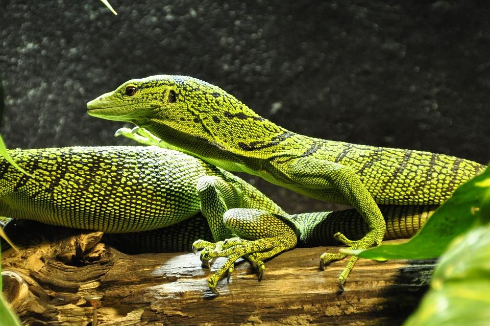 Spotted Baumwaran, Monitor, Tree Monitor, Lizard