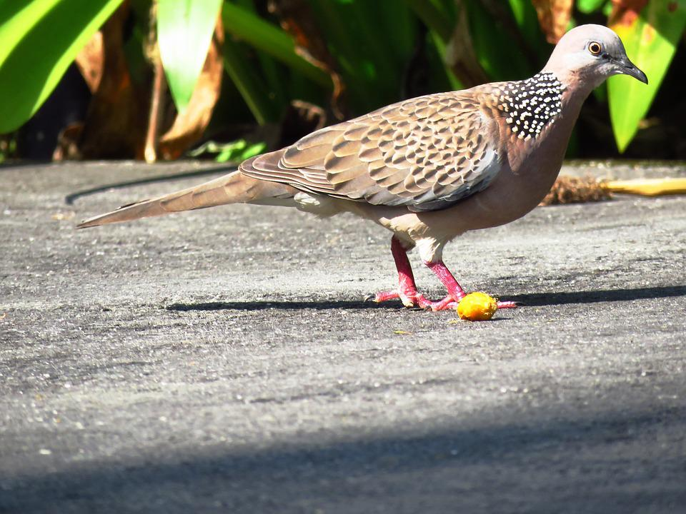 Dove, Spotted Dove, Pigeon, Bird, Feed, Outdoor