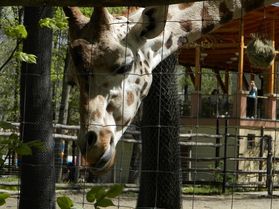 Giraffe, Zoo, Animal, Spotted