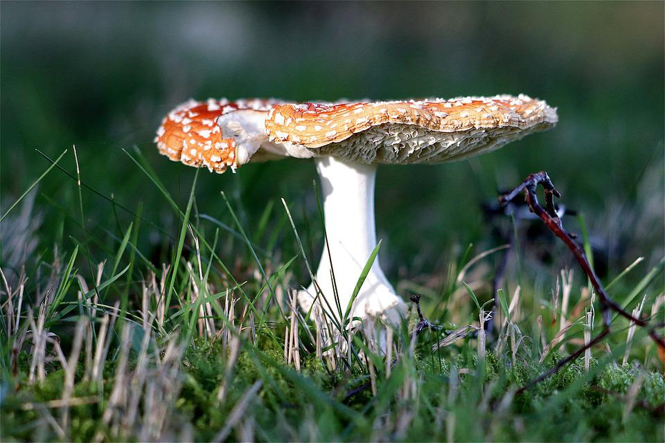 Fly Agaric, Toxic, Autumn, Spotted, Toadstool