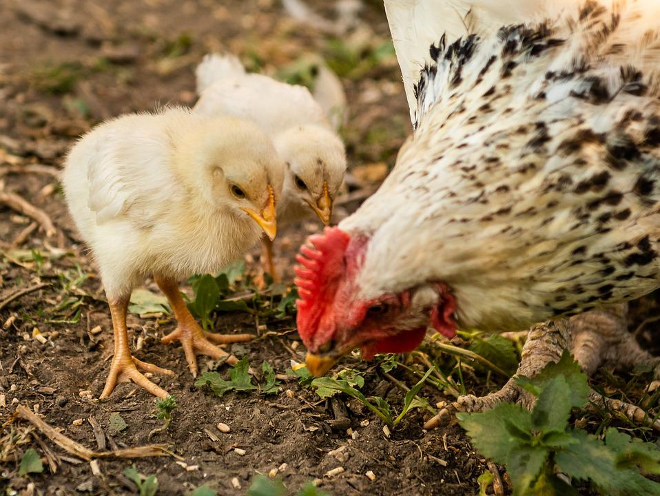 Chickens, Chicks, Mother Hen, Young Animal, Spout, Peck