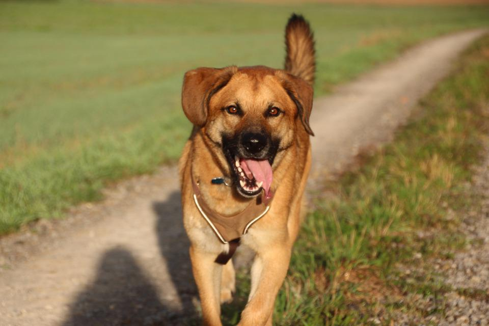 Dog, Happy, Spout, Joy, Trots, Trot