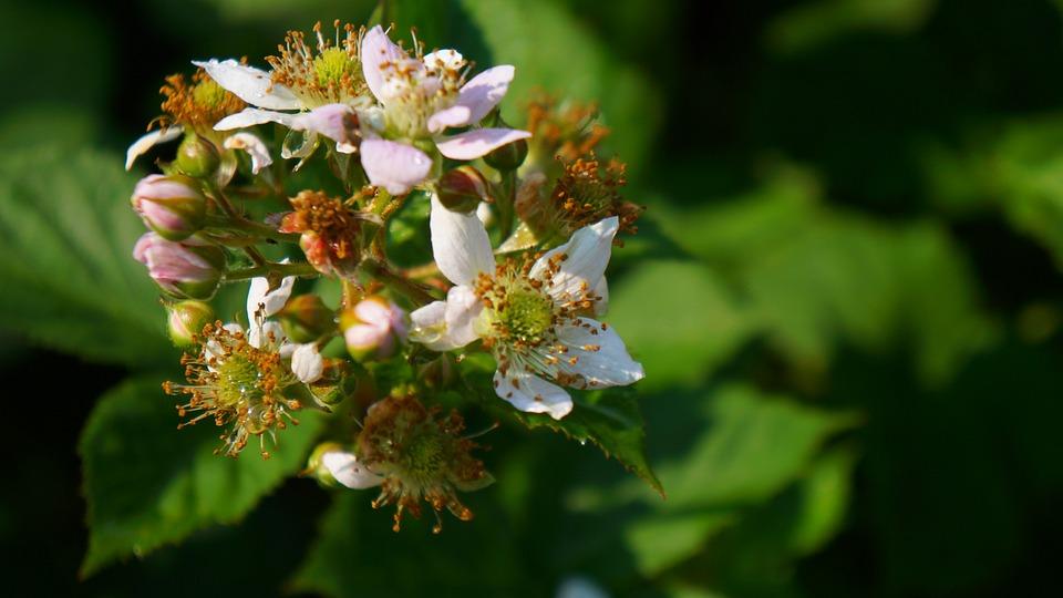 Nature, Plants, Flowering Blackberry, Sprig, Garden