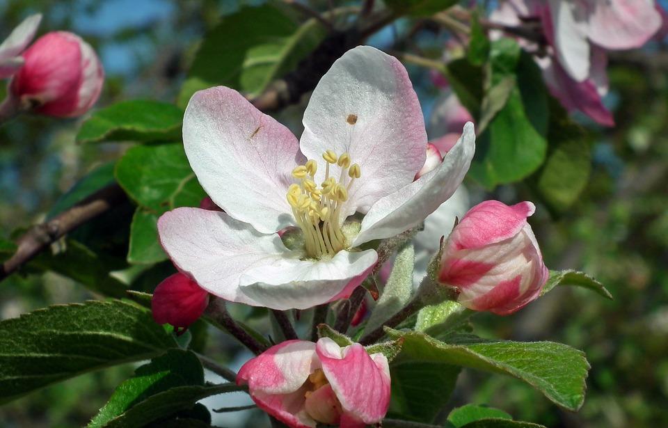 Flower, Apple, Spring, Sprig, Nature, Leaf, Garden