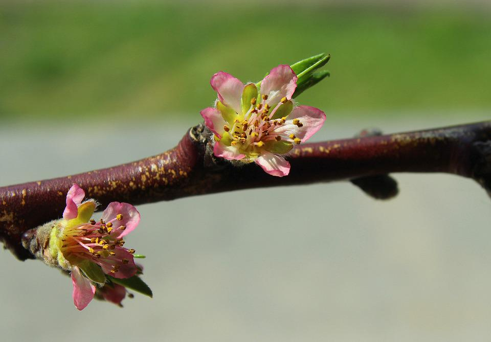 Peach Blossom, Flowering, Fruit Trees, Sprig, Spring