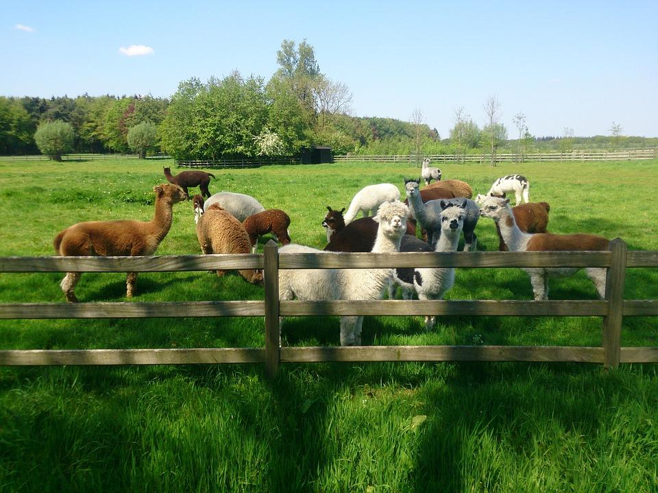 Spring, Alpaca, Wool