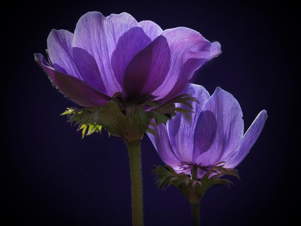 Anemone, Crown Anemone, Blue, Spring, Hahnenfußgewächs