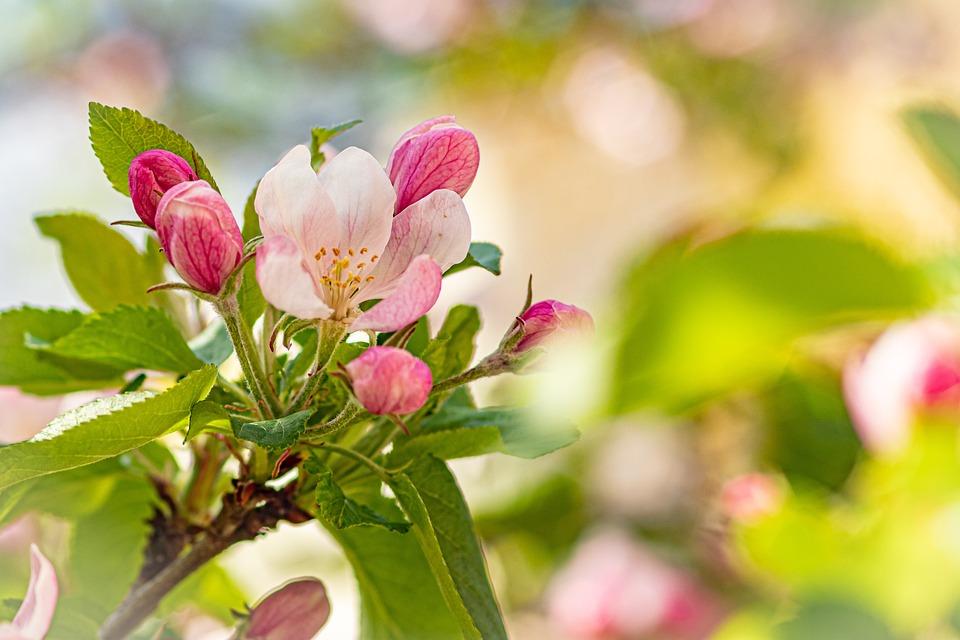 Apple Blossom, Blossom, Bloom, Apple Tree, Spring