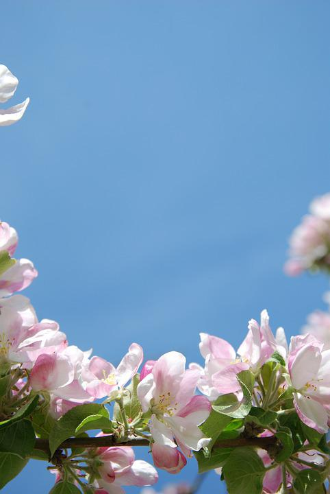 Flowers, Apple Blossom, Pink, Spring, Flowering