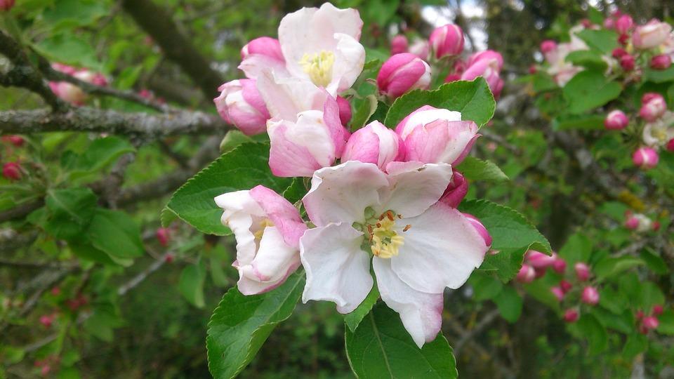 Apple Blossom, Spring, Apple Tree, Nature, Leaves