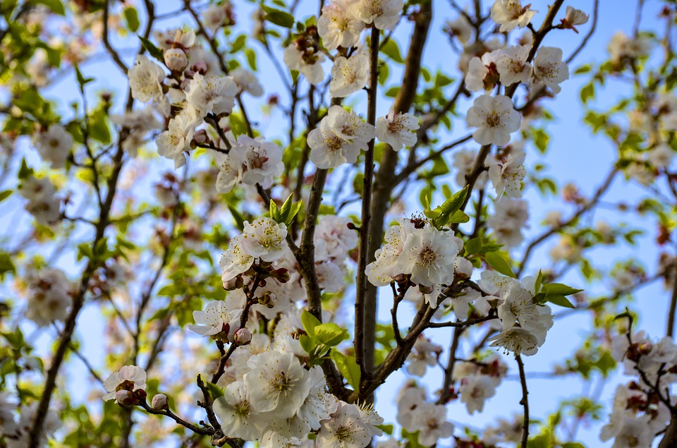 Apple Flowers, Blooming, Blossom, Spring, Branch, Tree