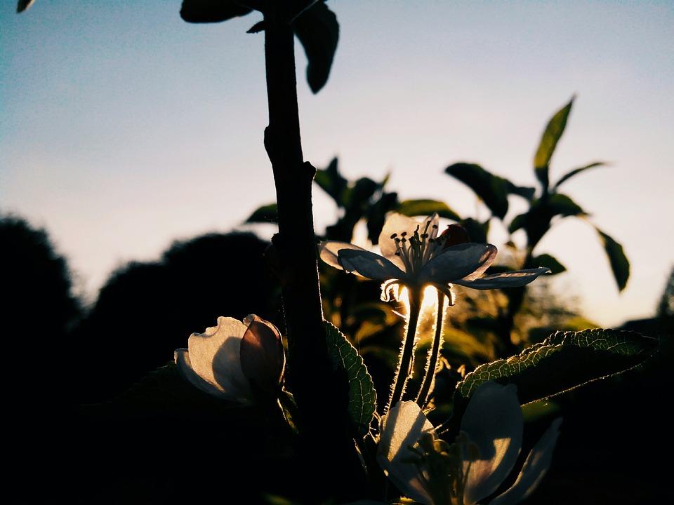 Flower, Apple Tree, Bloom, Spring, Tree, Branch, Sun