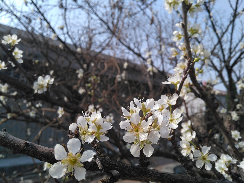 Apricot, Spring, White Apricot Flowers