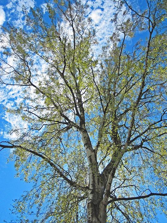 Spring Awakening, Leaf Sprouting, Birch, Sunny