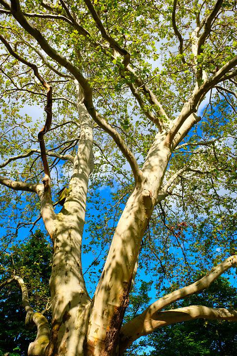 Birch, Tree, Nature, Spring, Bark, White, Sun, Tribe