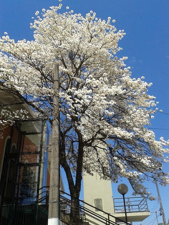 Ipê, White, Tree, Flowers, Spring, Beautiful, Sky