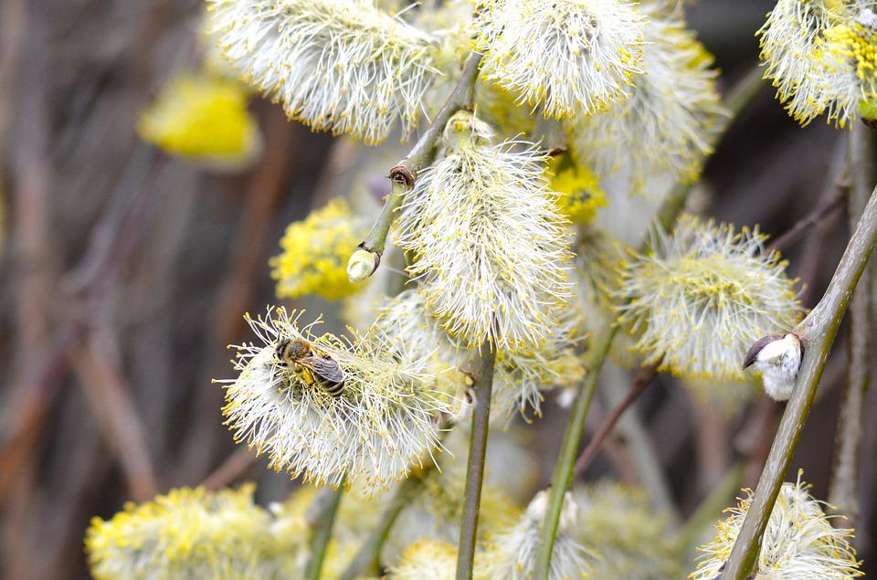 Willow Catkin, Bee, Pasture, Spring, Nature, Close Up