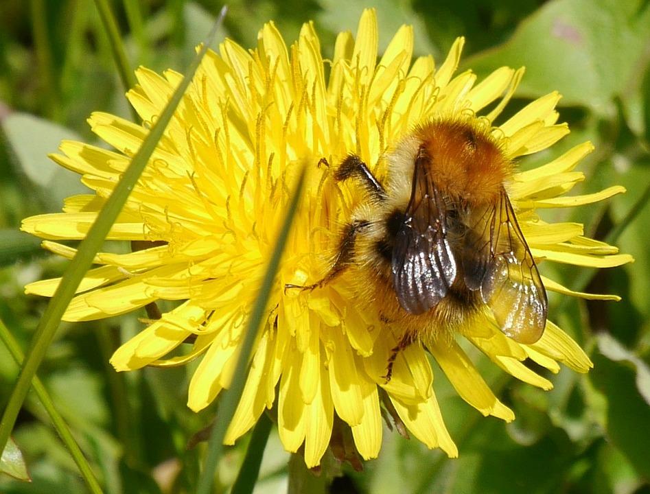 Bee, Dandelion, Spring, Yellow