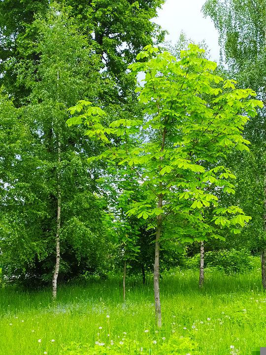 Grass, Birch, Trees, Forest, Trunk, Spring