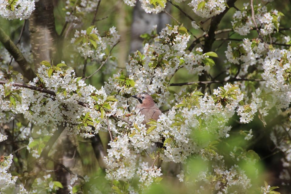 Free Photo Spring Bird Animal Aesthetic Flowers Branches Jay Max Pixel