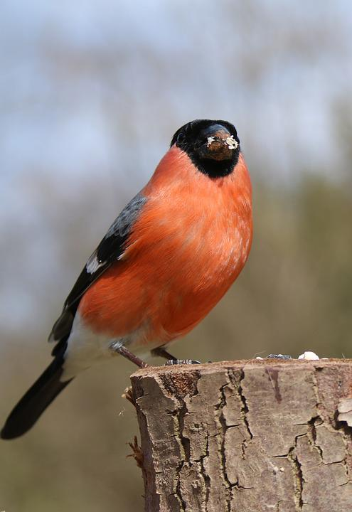 Bullfinch, Male, Bird, Nature, Red, Finch, Spring
