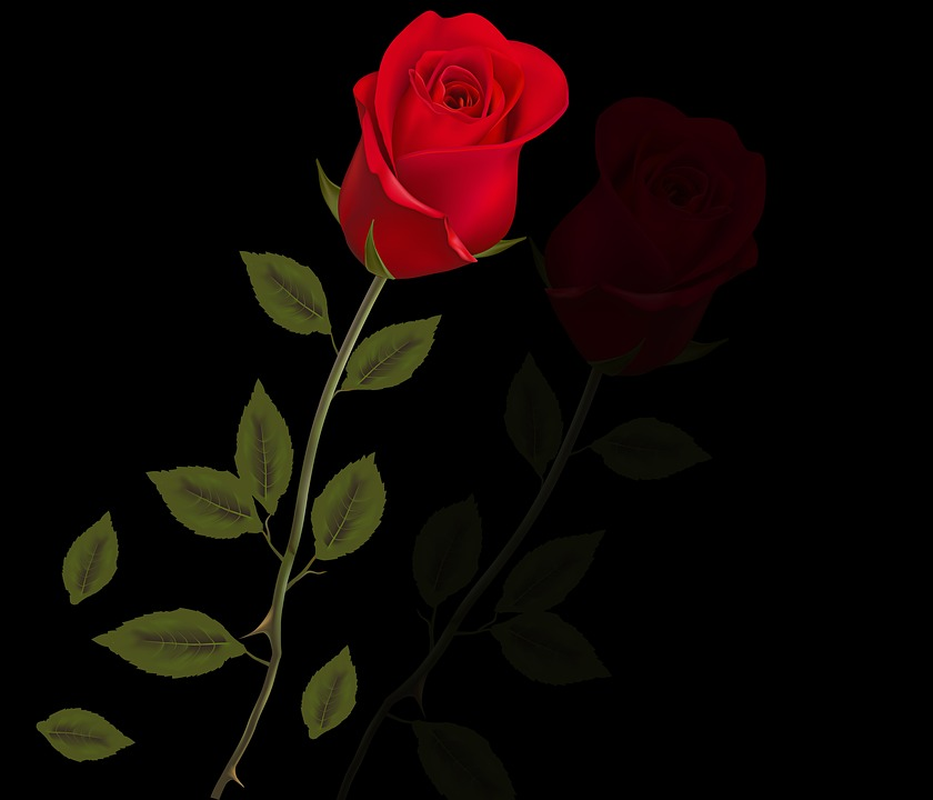 Rosa, Red Rose, Plant, Spring, Black Background, Leaves