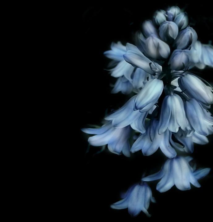 Bells Flower, Blue, Flower, Black, Nature, Spring