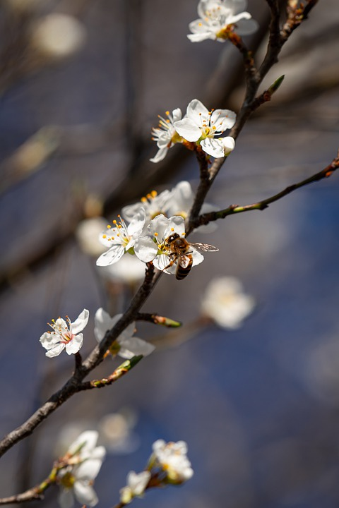 Blackthorn, Blackthorn Flowering, Schlehe, Spring