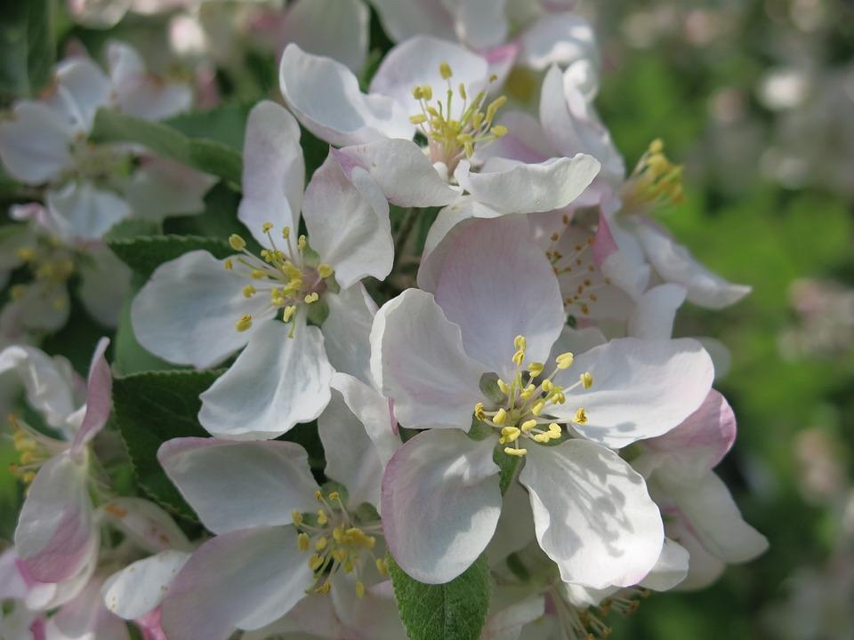 Apple, Blossoms, Spring, White, Bloom, Nature, Petal