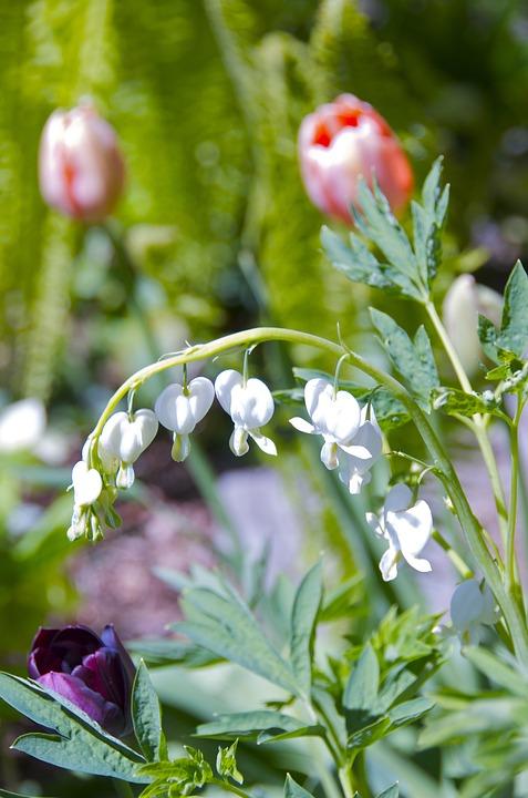 Bleeding Heart, White, Flower, Spring, Blossom, Bloom