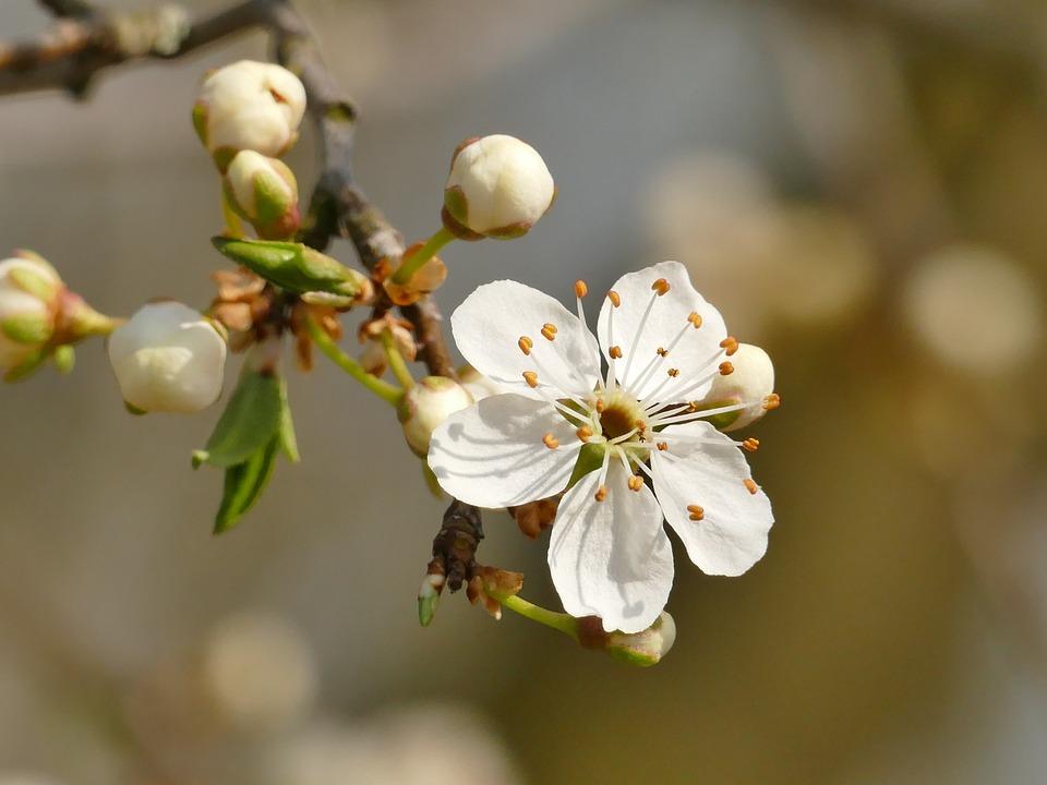 Spring, Blossom, Bloom, White, Fruit Tree Blossoming