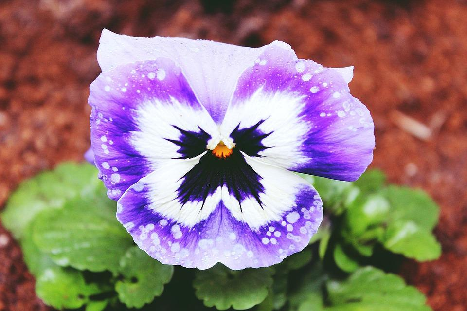 Pansy, Flower, Blossom, Bloom, Spring, Close, Nature