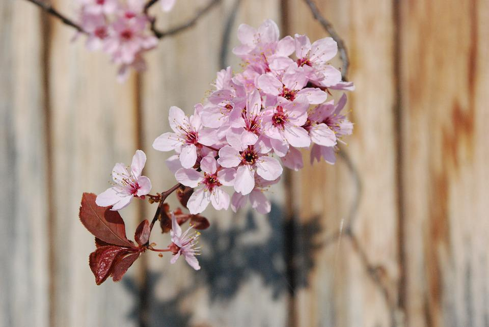 Blossom, Bloom, Branch, Pink, Spring