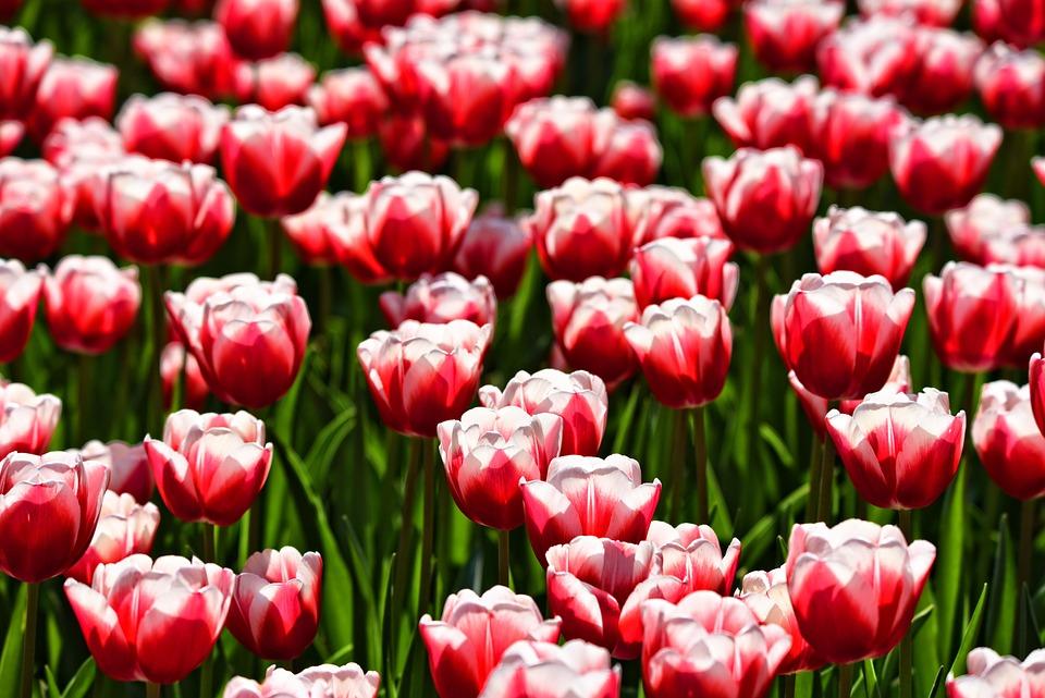 Tulip, Flower, Plant, Bulbous, Blossom, Spring Bloom