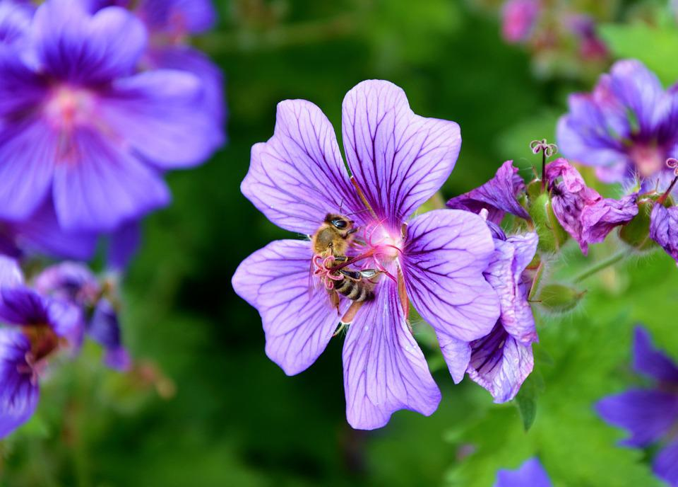 Cranesbill, Bee, Spring, Blossom, Bloom, Nectar, Pollen