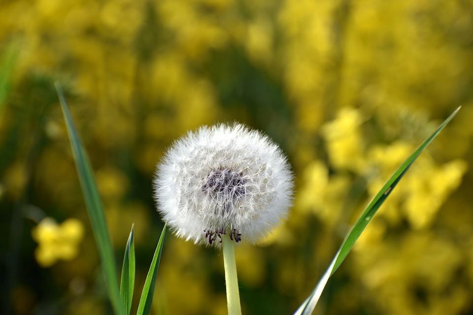 Dandelion, Blossom, Bloom, Spring, Flower