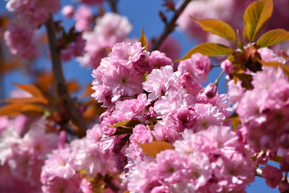 Blossom, Bloom, Pink, Spring, Flower, Nature, Summer