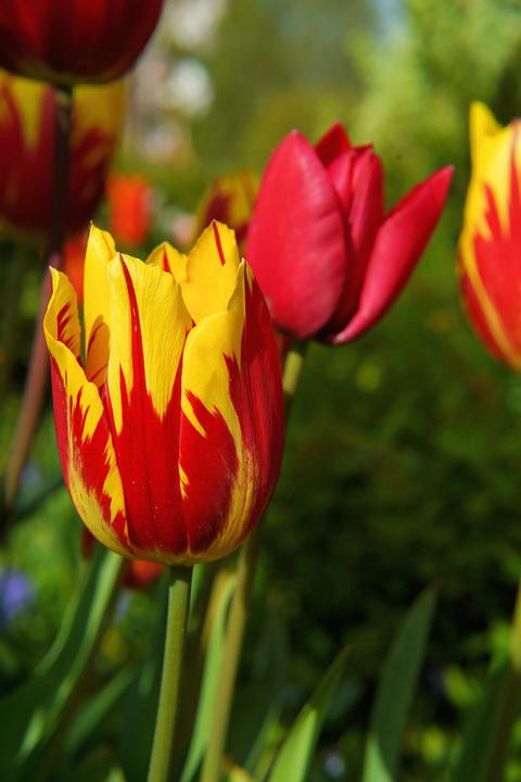 Blossom, Bloom, Tulip, Red Yellow, Flower, Spring