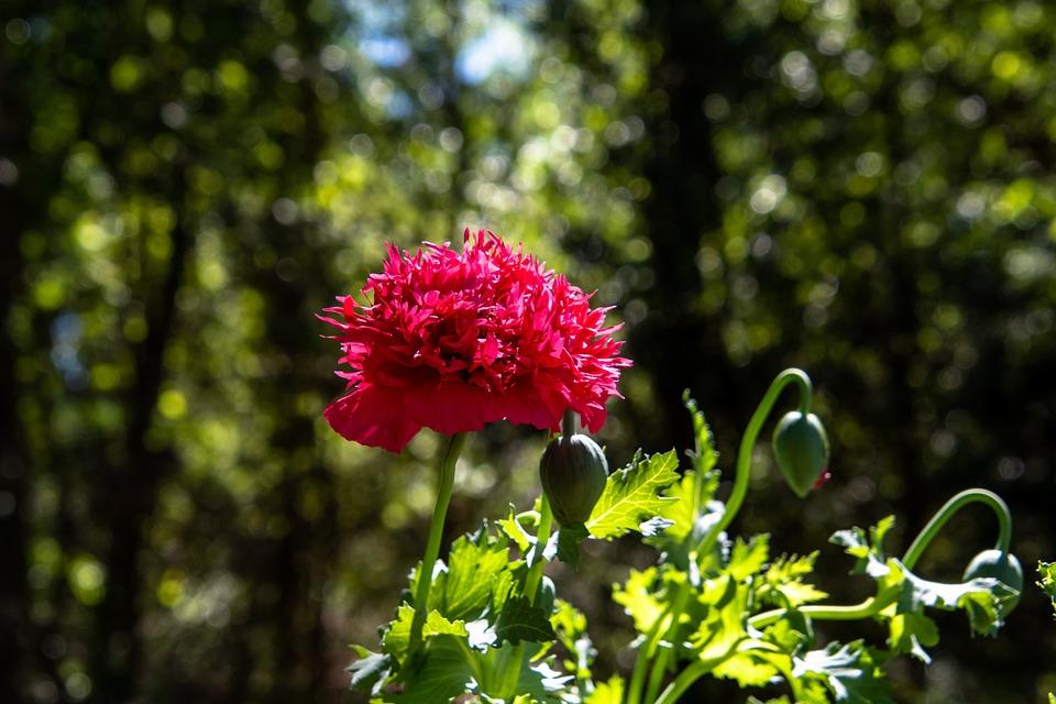 Poppy Flower, Bloom, Plants, Spring, Botany