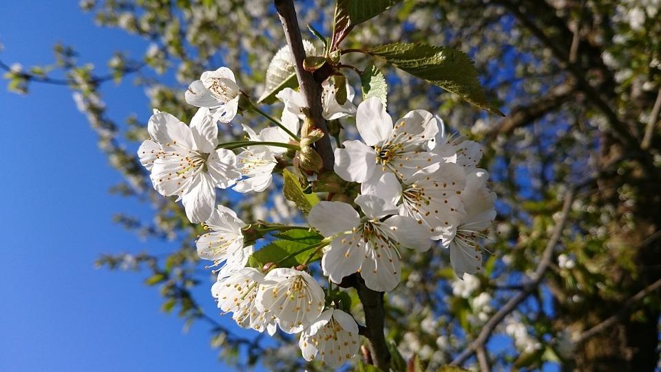 Spring, Nature, Bloom, Bud, Plant, Spring Flower, Apple