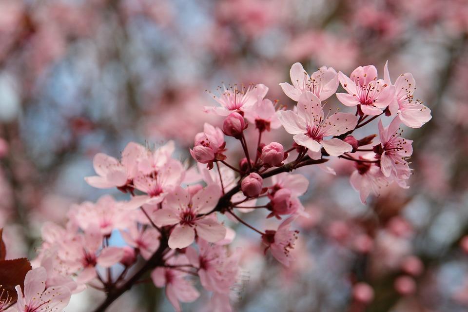 Blood Plum, Spring, Sun, Tree, Bloom, Prunus Cerasifera