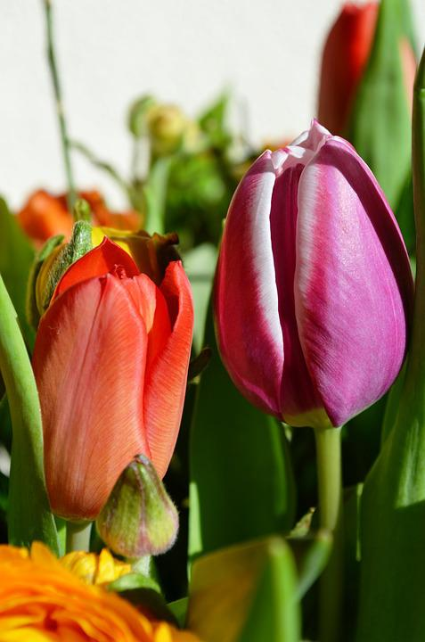 Tulips, Flowers, Holland, Spring, Netherlands, Bloom