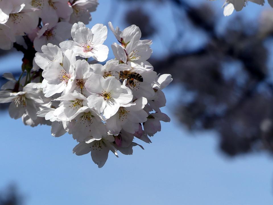Blossom, Bloom, Bee, Spring, Animal